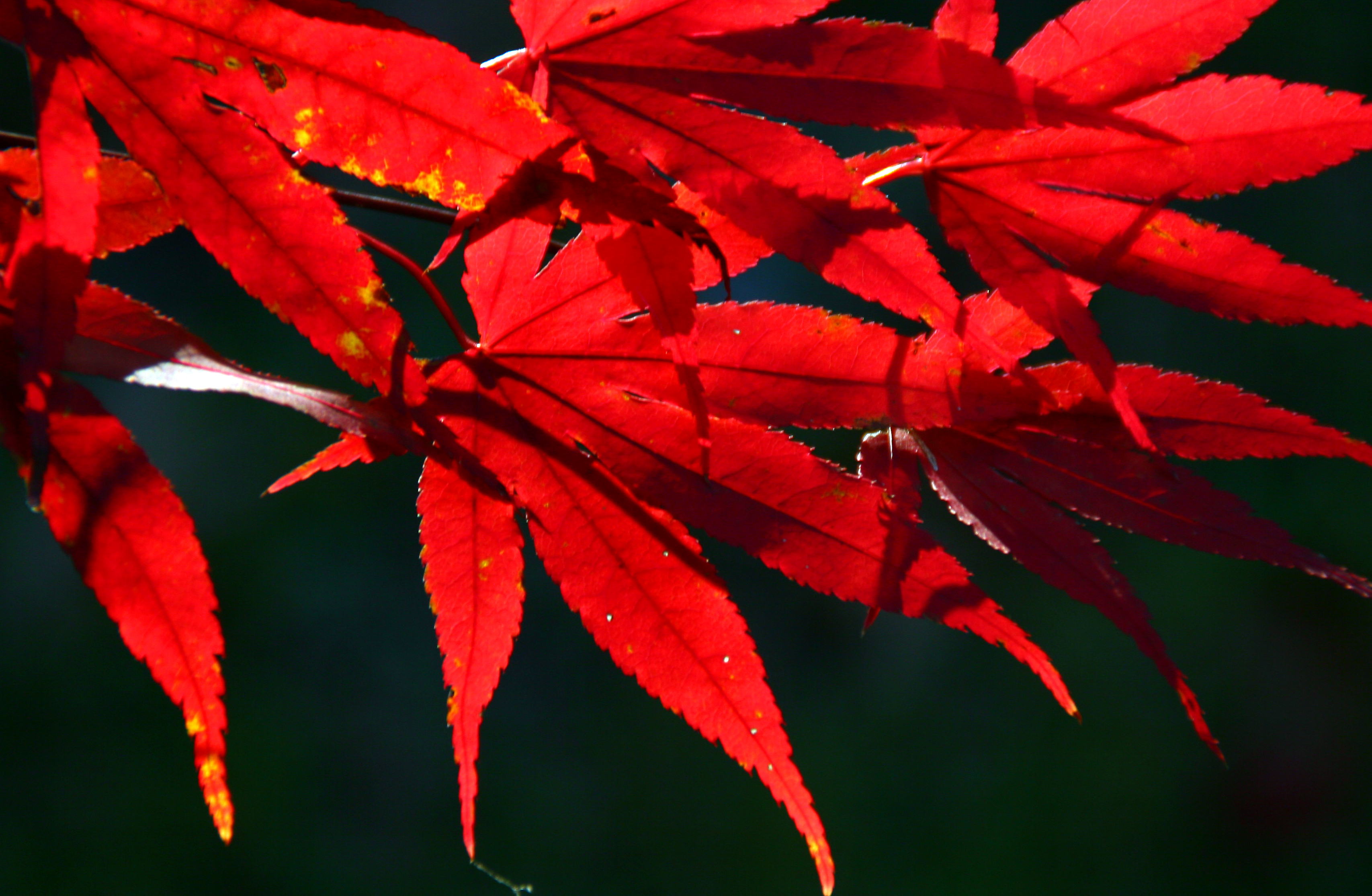 File japanese maple leaves in boxborough massachussetts Japanese maple leaf