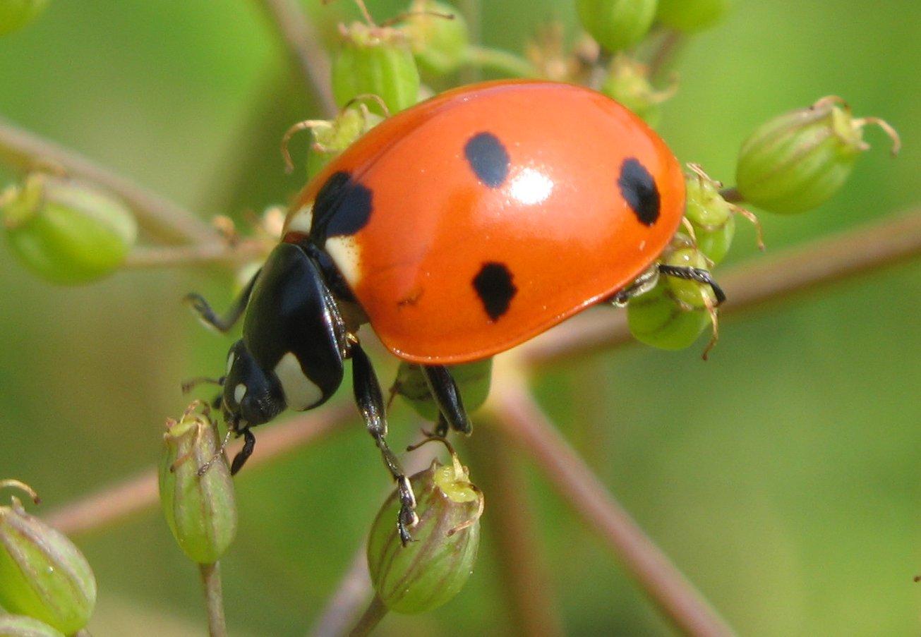 file lady beetle close wikipedia. Black Bedroom Furniture Sets. Home Design Ideas