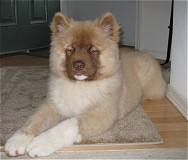 English: long haired American Akita