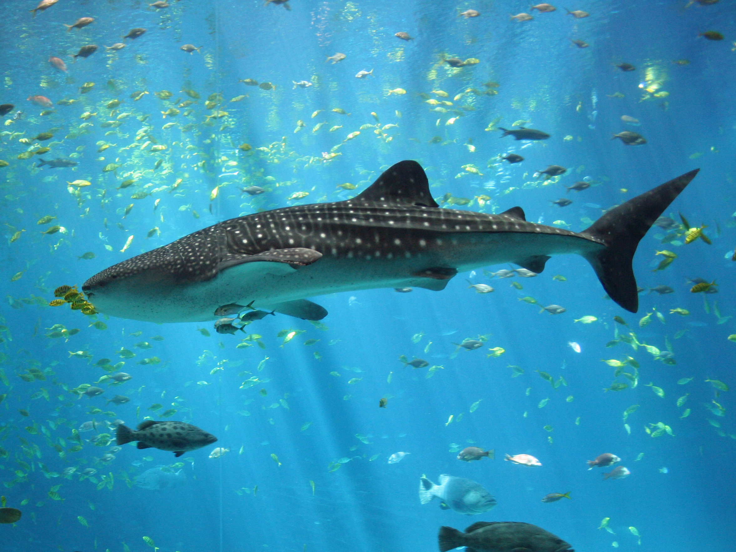 Top File:Male whale shark at Georgia Aquarium crop.jpg - Wikimedia Commons AN97