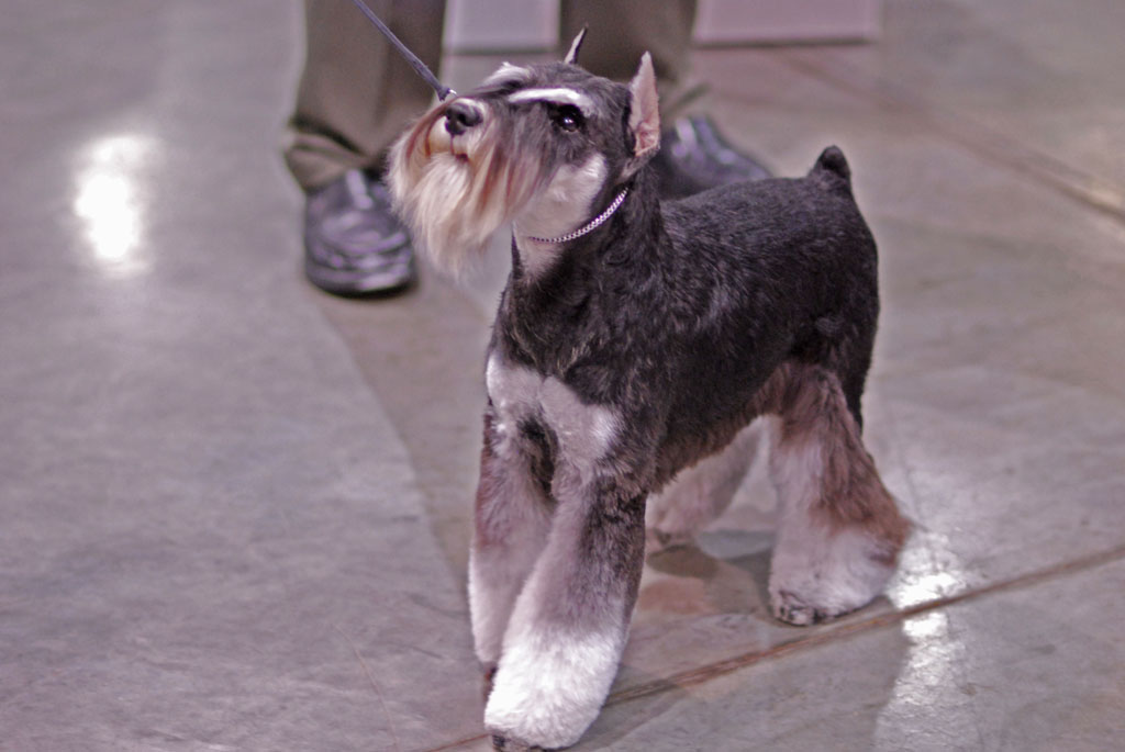 File:Miniature Schnauzer dogshow Flickr.jpg - Wikipedia, the free ...