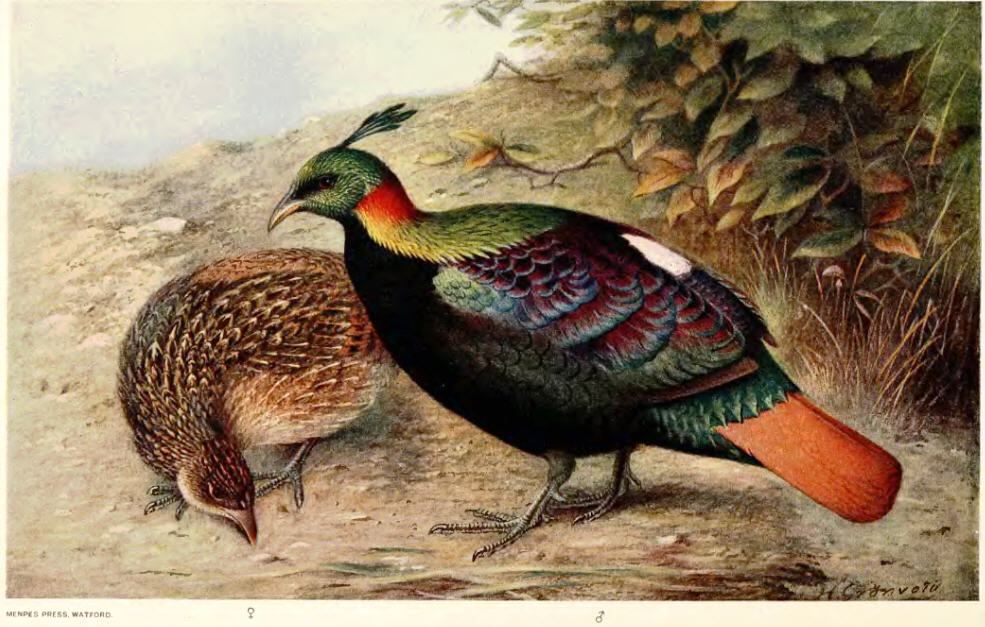 Himalayan monal, female and male