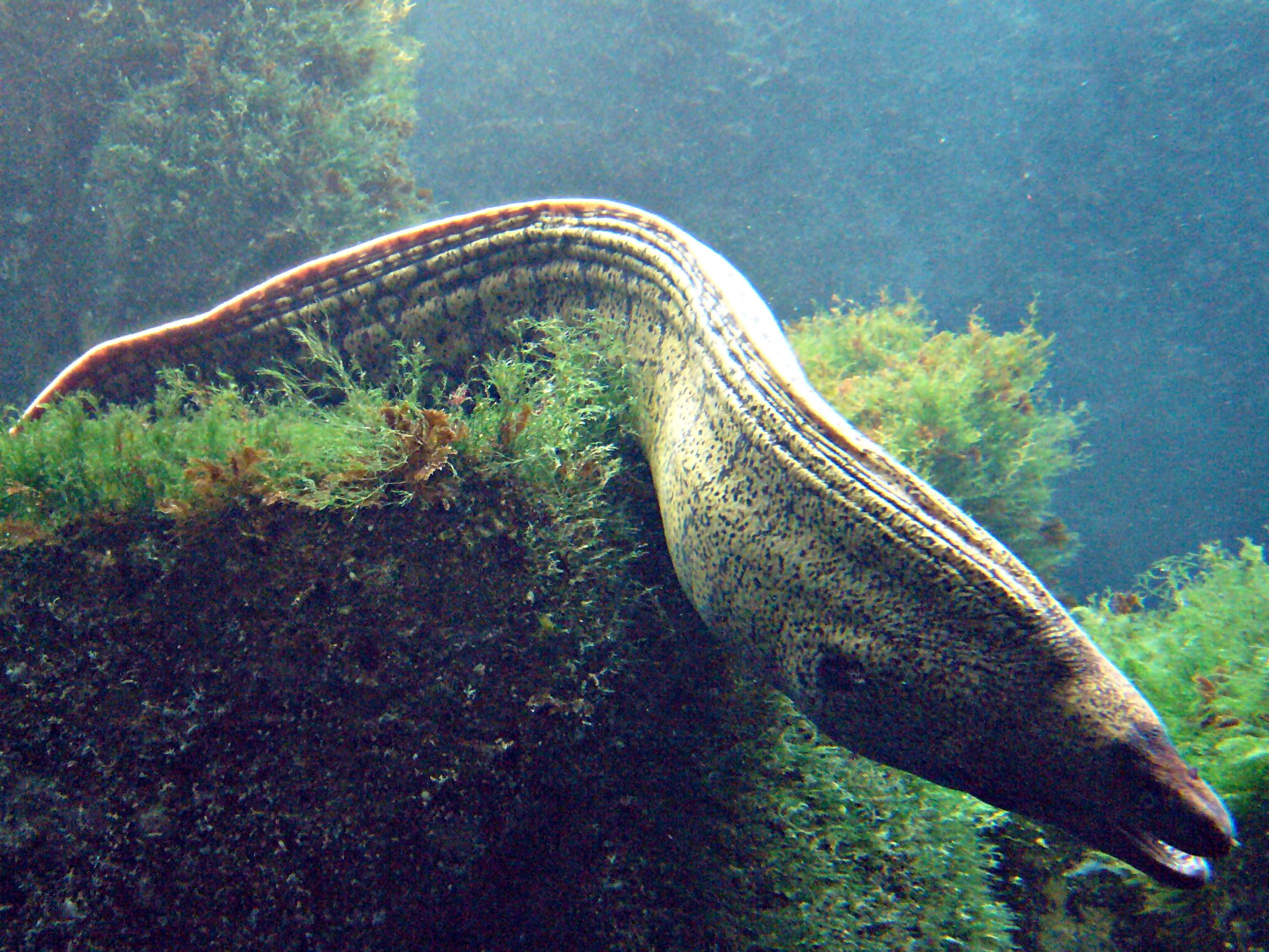 Moray Eel Size Showing Typical Moray Eel
