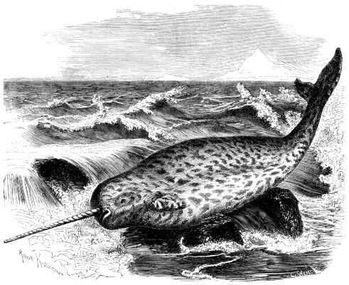 A narwhal as depicted in the zoological encyclopedia Brehms Tierleben, 1860.(G2)