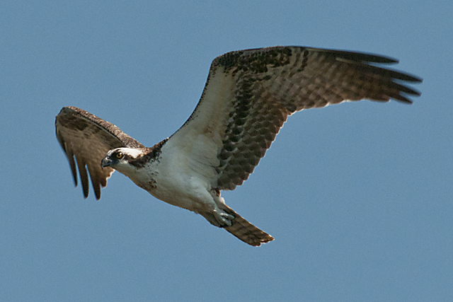 Osprey In Flight By Carole Robertson
