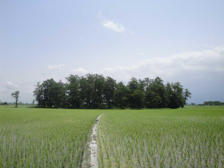 File:Paddy field Amol IRI 7 jpg - Wikimedia Commons