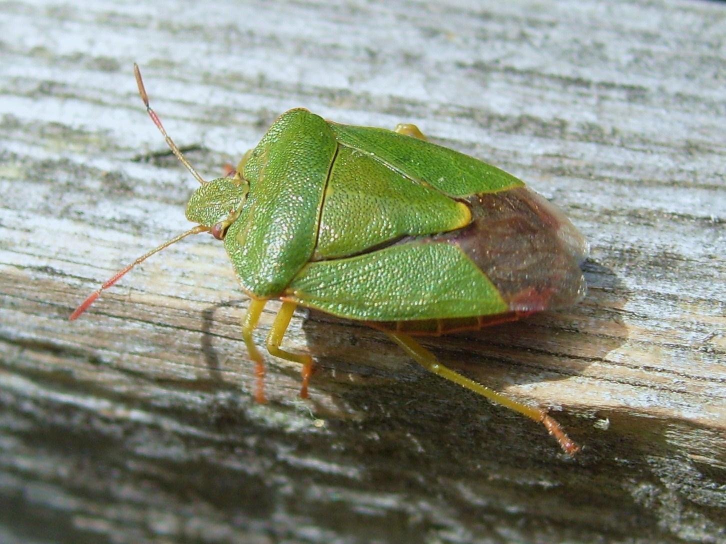 Groene stinkwants - Wikiwand