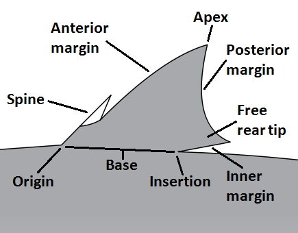 Shark Anatomy Wikiwand