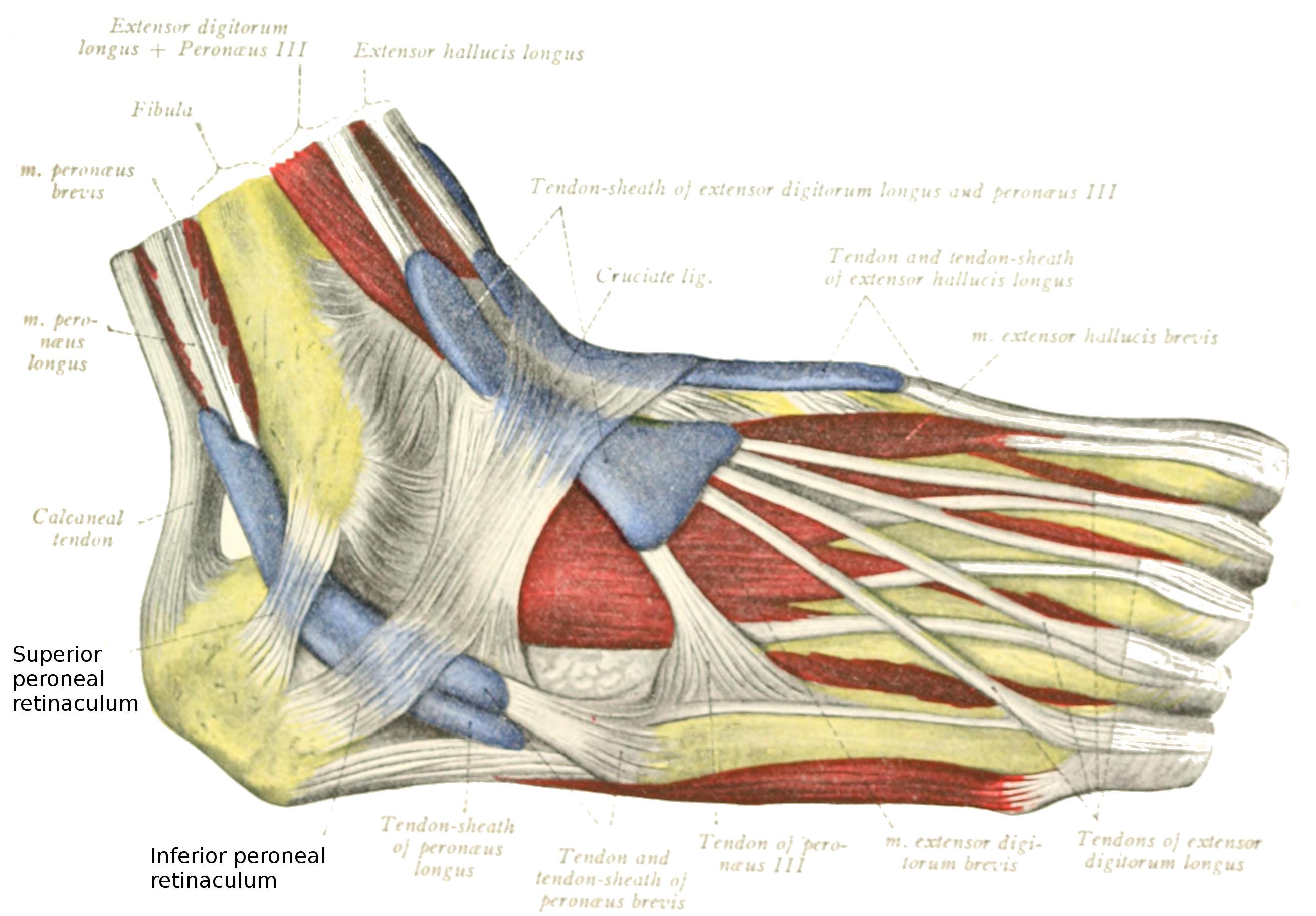Peroneal retinacula - Wikipedia