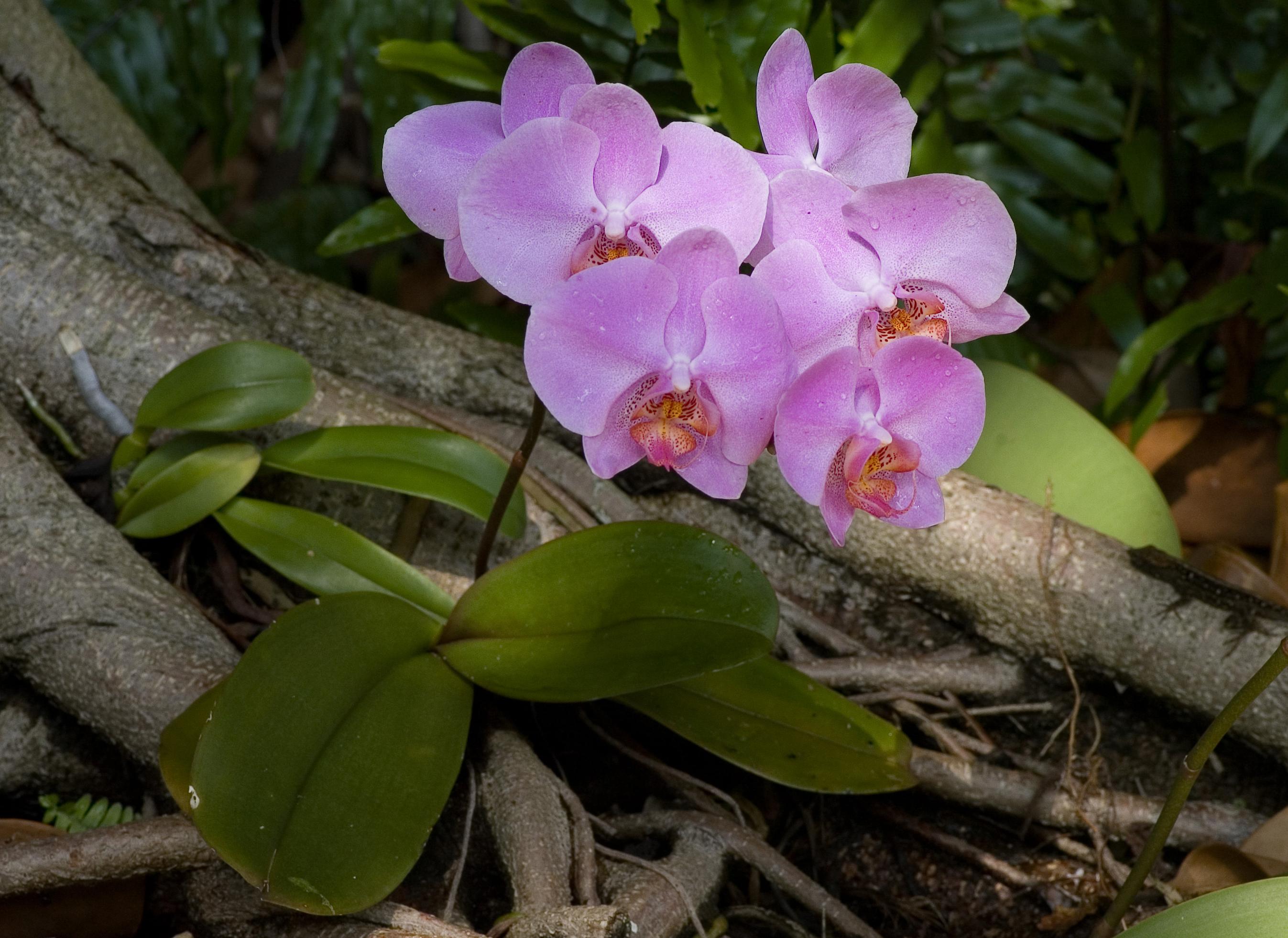 File phalaenopsis purple cultivar wikimedia commons for Plantas ornamentales wikipedia
