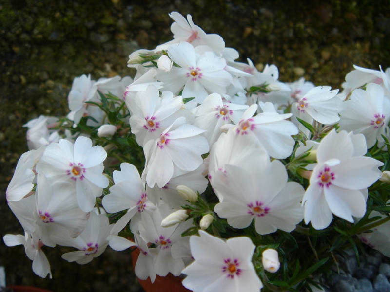 https://upload.wikimedia.org/wikipedia/commons/5/57/Phlox_subulata_%27Amazing_grace%27_1.JPG
