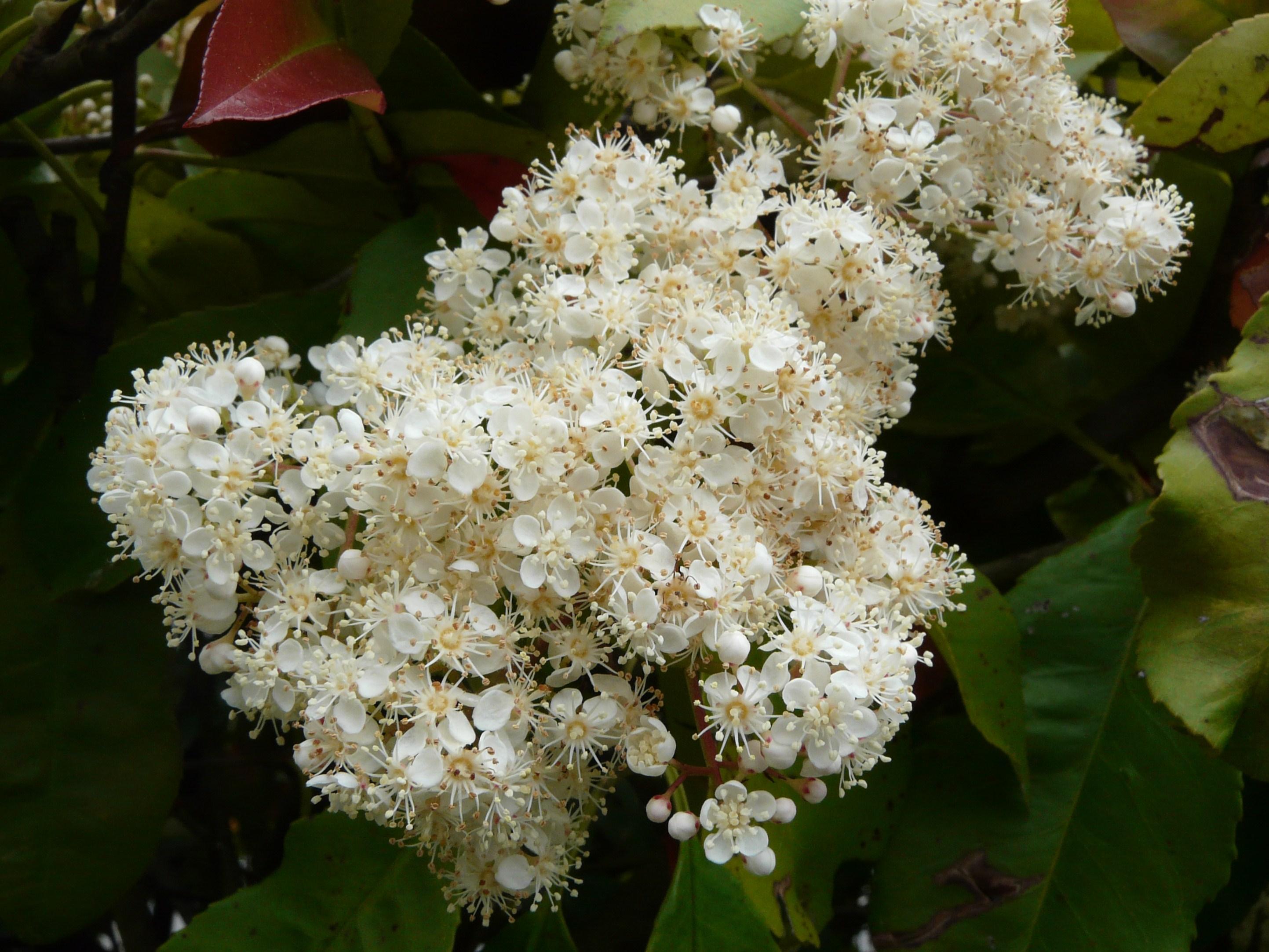 File Photinia X Fraseri Fleurs 1 Jpg Wikimedia Commons