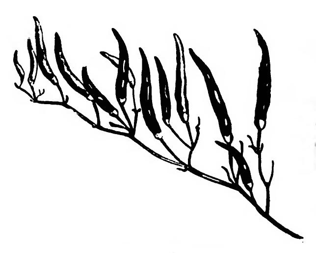 Piment du Chili Vilmorin-Andrieux 1883