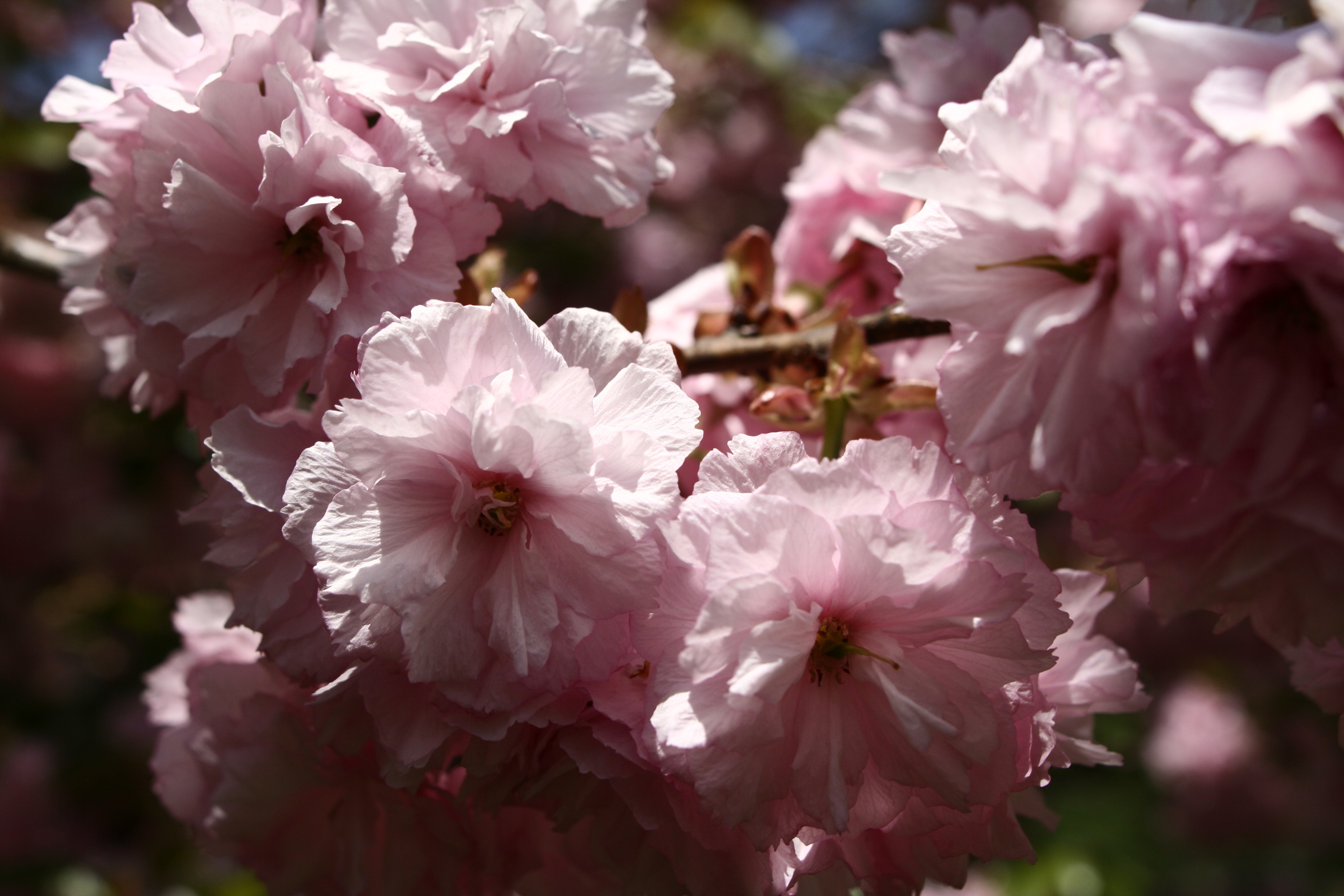 File pink tree blossom spring west virginia for Pink small tree