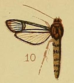 Pl.41-fig.10-Synanthedon cyanescens (Hampson, 1910) (Ichneumenoptera).JPG