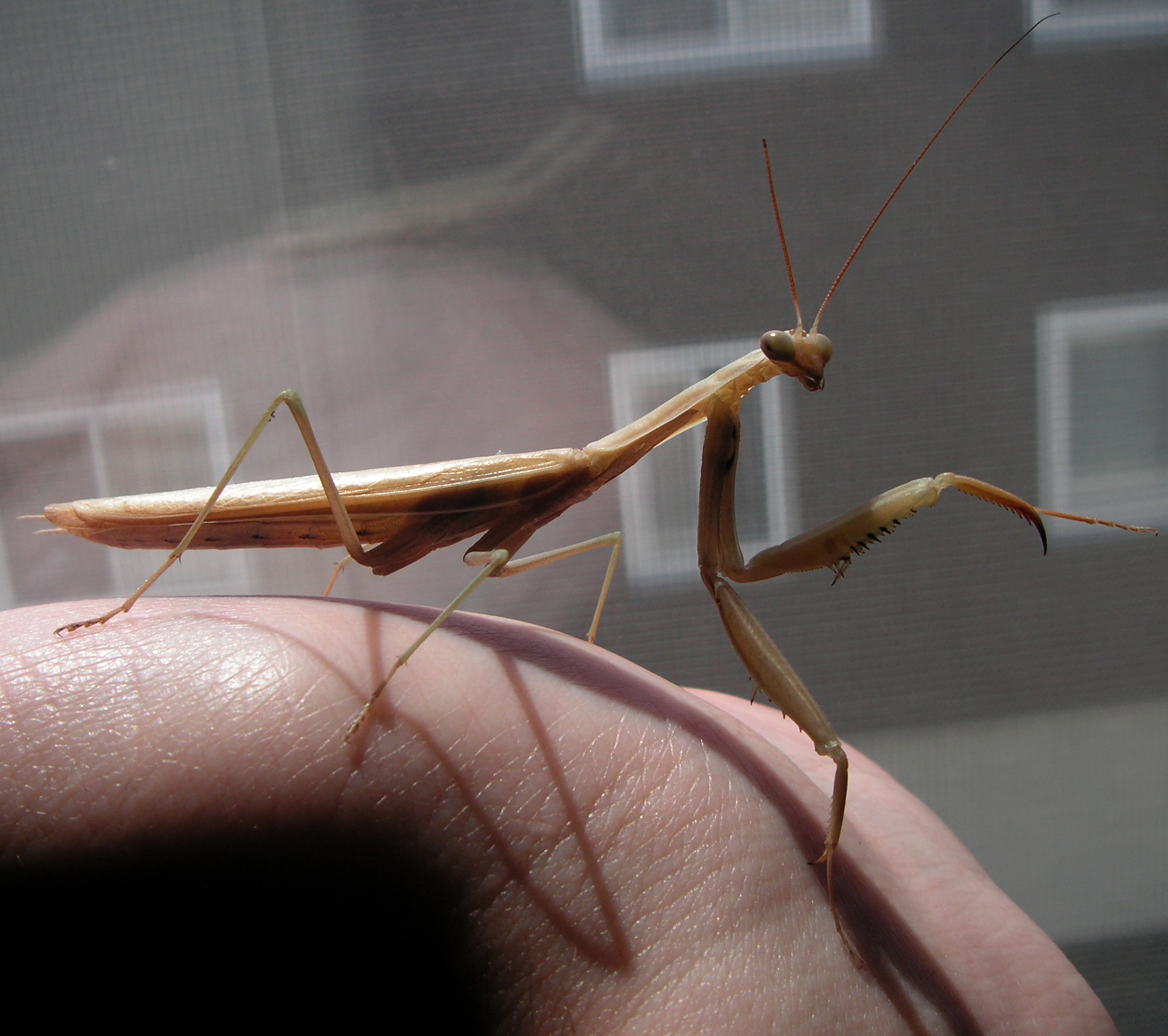 File:Praying Mantis .jpg - Wikimedia Commons