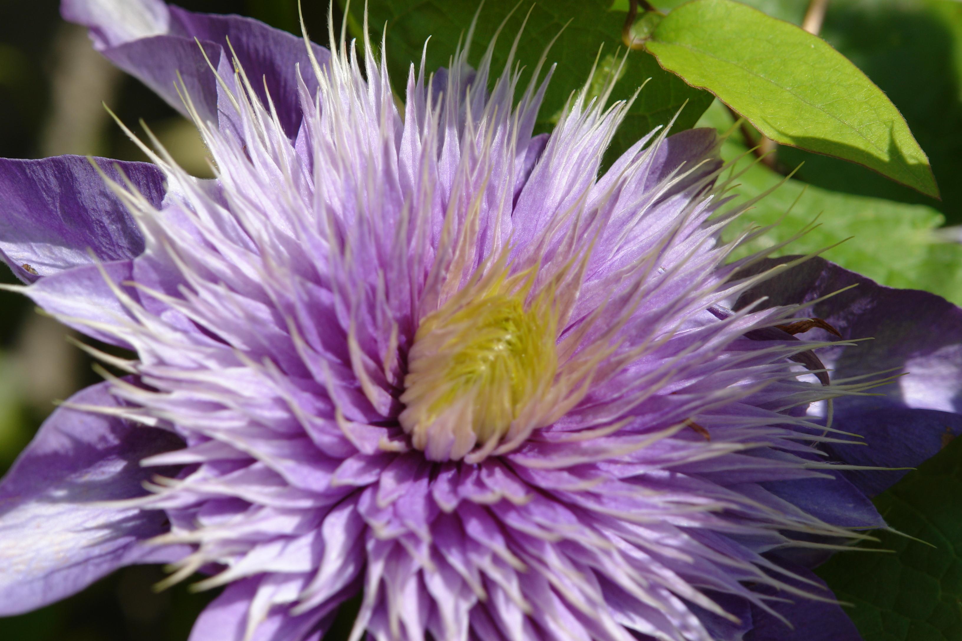 File:Purple Flower 209...