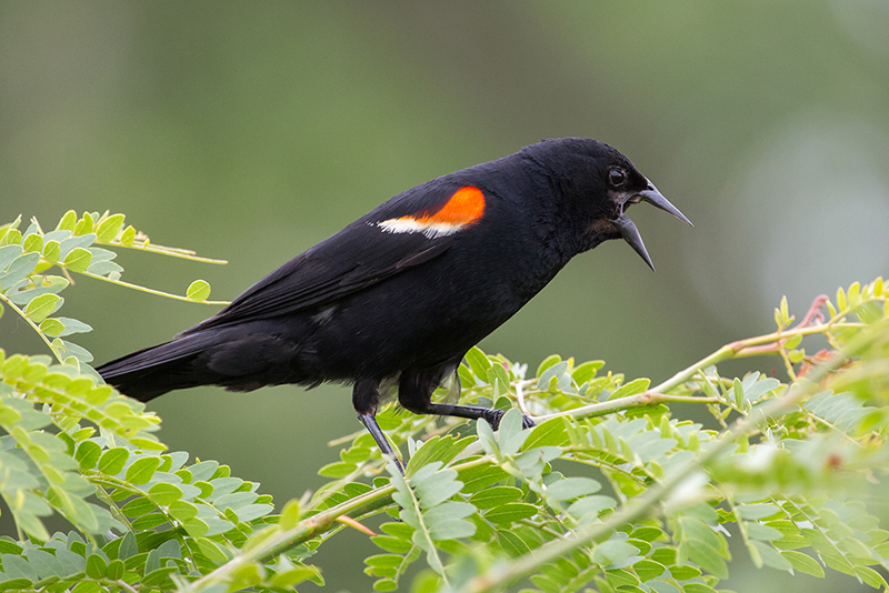 Redwinged Blackbird m 7324