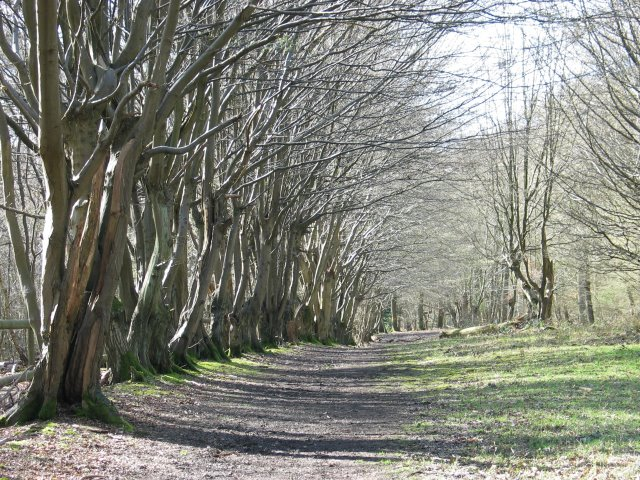 Row of Hornbeams, Justice Hill, Northaw Great Wood - geograph.org.uk - 371191