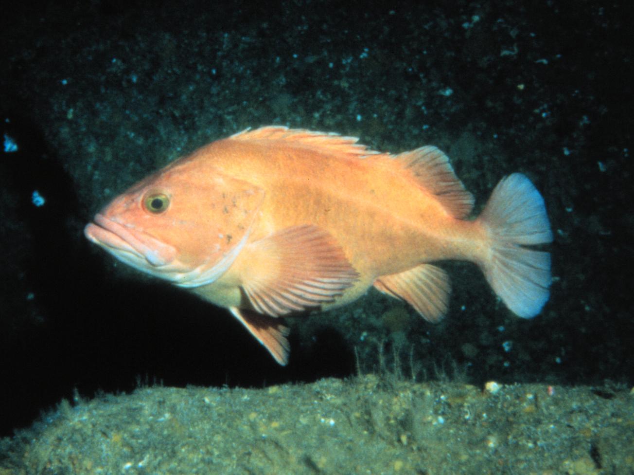 Sebastes wikipedia for Types of fish in alaska