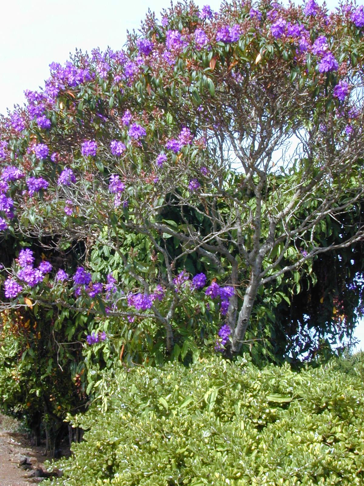 Tibouchina Granulosa Wikip 233 Dia A Enciclop 233 Dia Livre