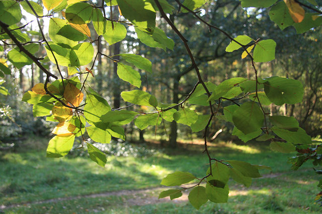 File:Sunlight through the leaves - geograph.org.uk - 1011865.jpg