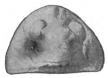 The Eurypterida of New York figure 95.jpg