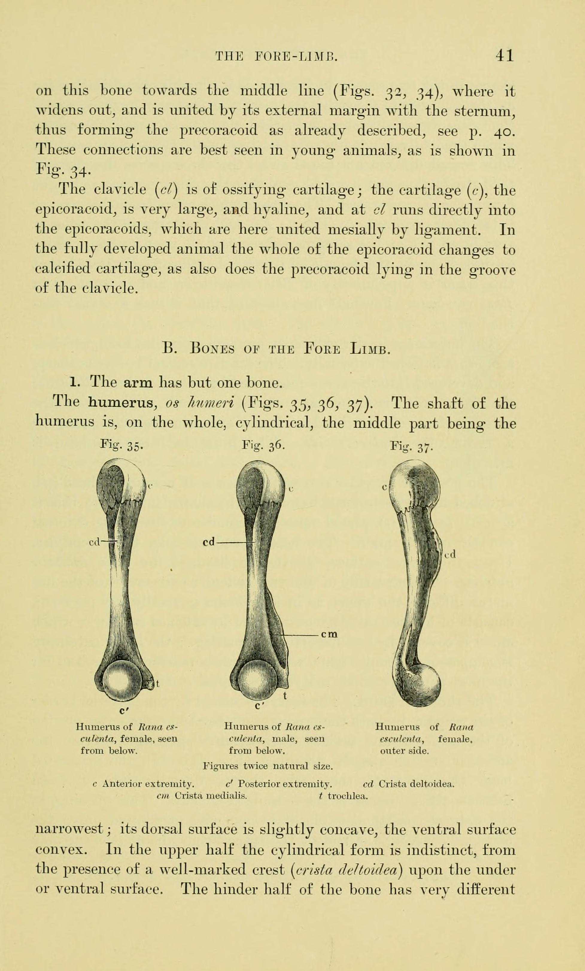 File:The anatomy of the frog (Page 41, Figs. 35-37) BHL7554806.jpg ...
