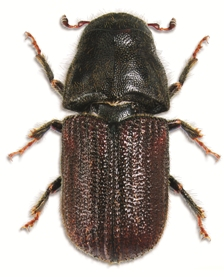 The mountain pine beetle.jpg