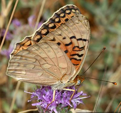 Bộ sưu tập cánh vẩy 5 - Page 3 Unsilvered_fritillary_butterfly