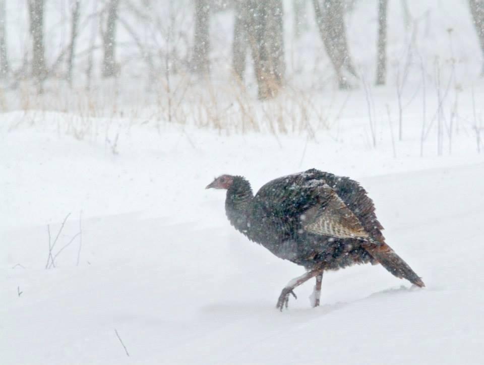 Image result for turkey snow wikimedia