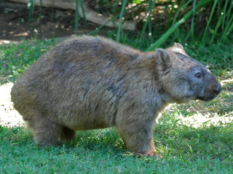 Image result for The Wombat