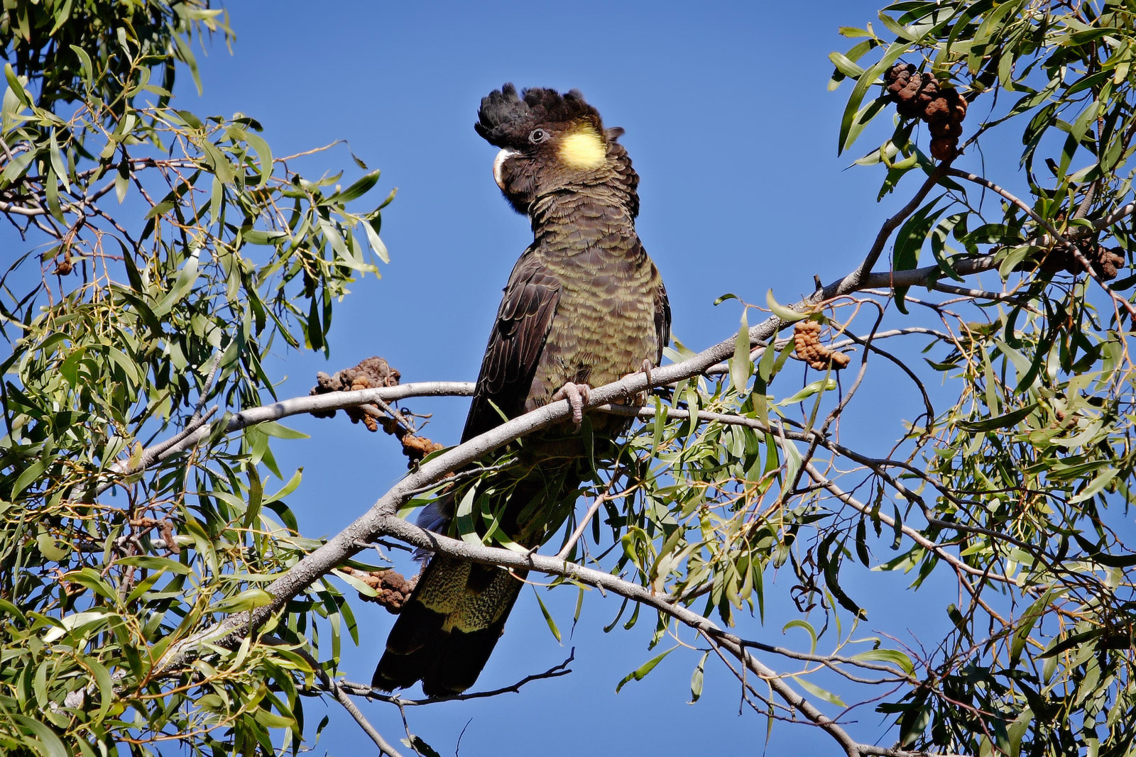 File:Yellow-tailed black cockatoo.jpg - Wikimedia Commons