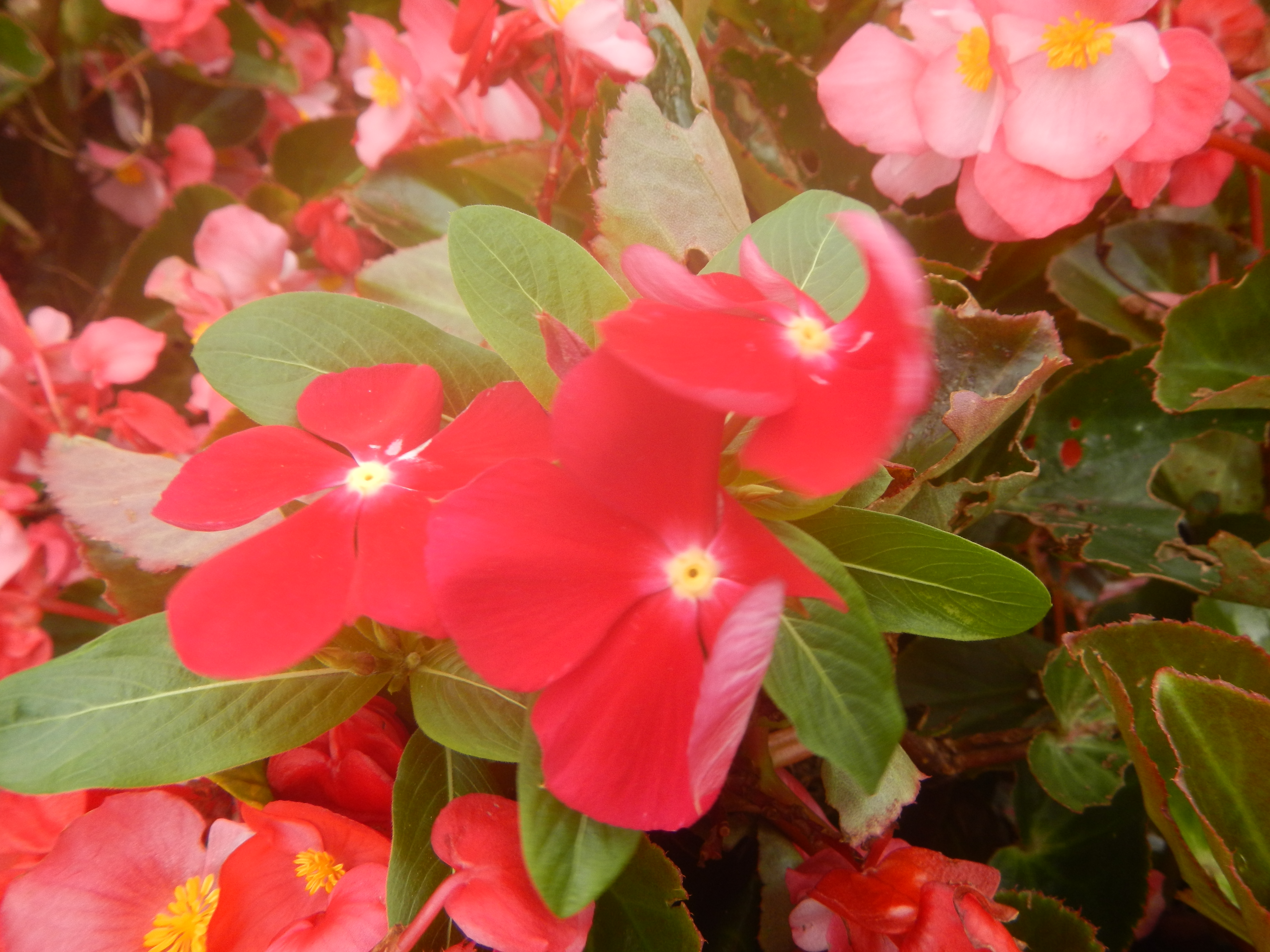 File02058jfclose Ups Of Vinca Flowers Pacifica Mixedfvf 07g