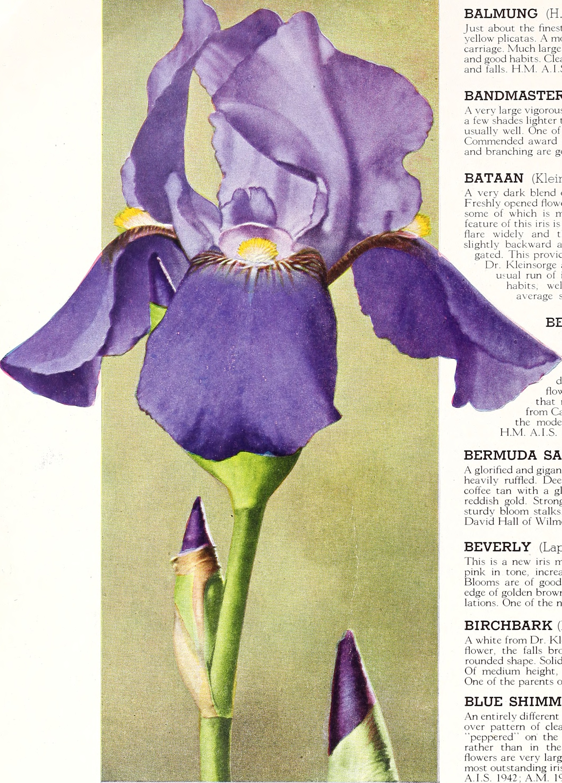File1945 iris tulips daffodils 1945 16670516025g wikimedia file1945 iris tulips daffodils 1945 16670516025g izmirmasajfo