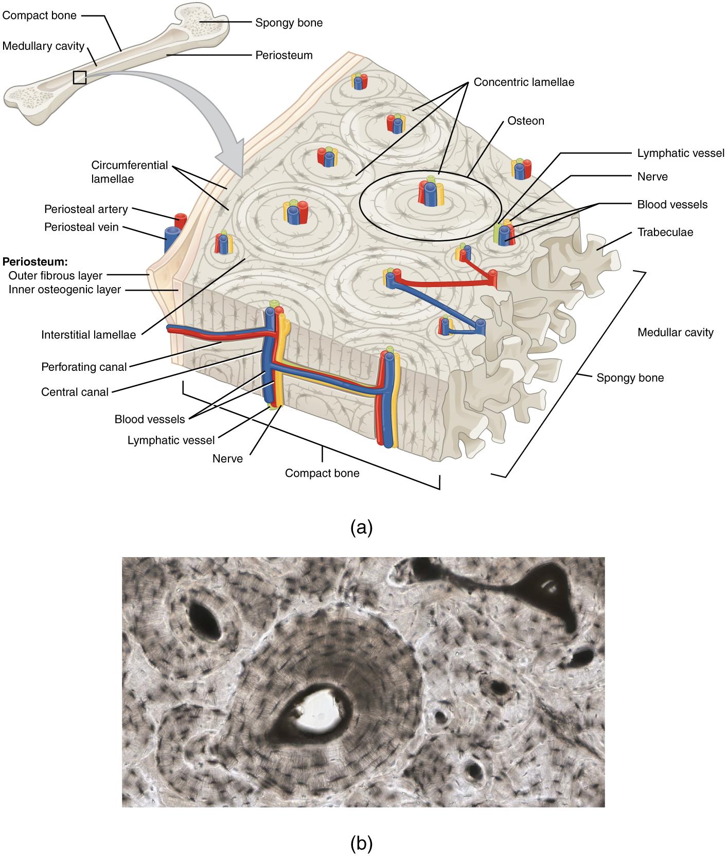 File624 Diagram Of Compact Bone Newg Wikipedia