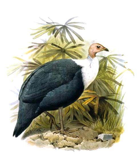 https://upload.wikimedia.org/wikipedia/commons/5/58/Agelastes_meleagrides.jpg