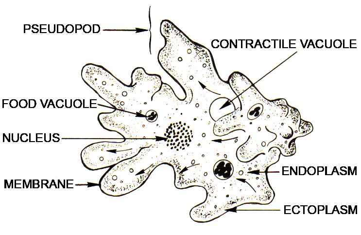 Эндоплазма фото