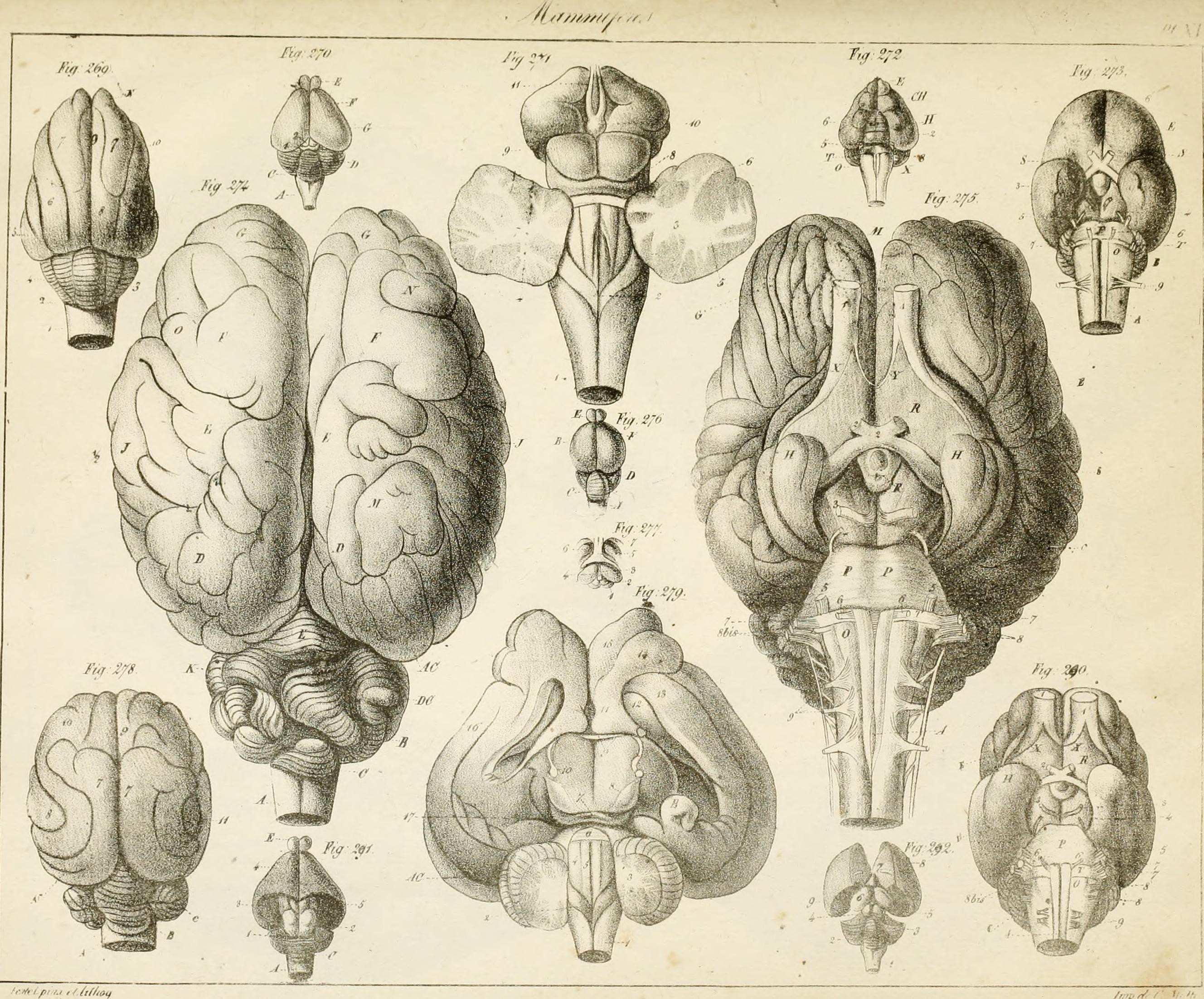 File:Anatomie comparée du cerveau - dans les quatres classes des ...
