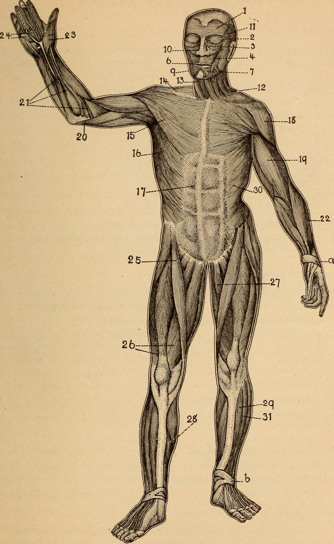 Erfreut Anatomie Und Physiologie Bilder Frei Ideen - Menschliche ...