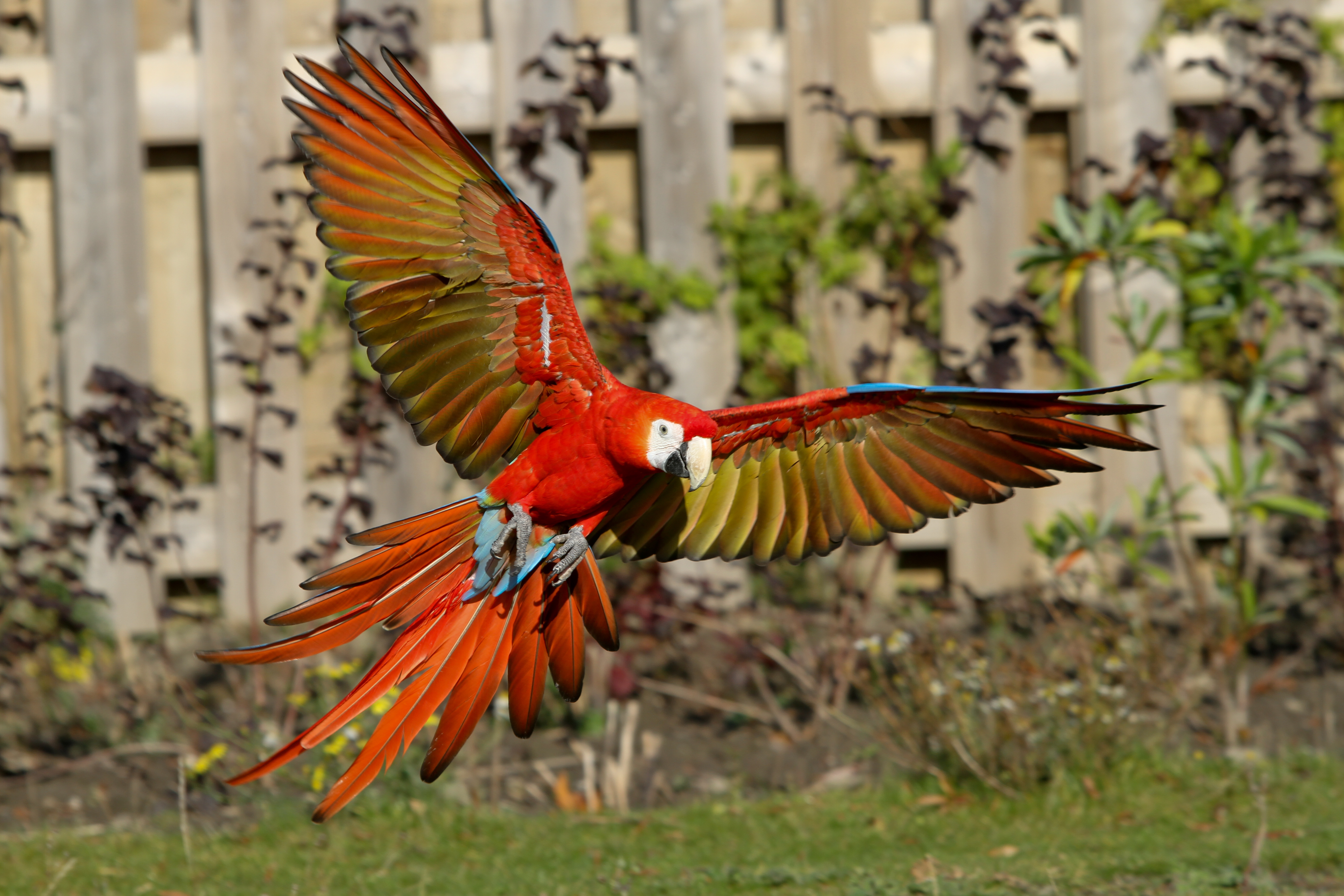 Red Macaw Parrot Flying File:Ara macao -Dierga...