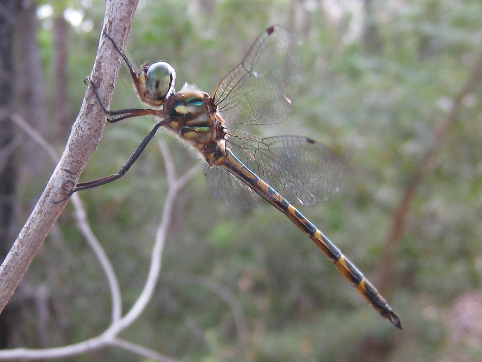 photos hemicordulia australiae australian male ausspeciespages emerald