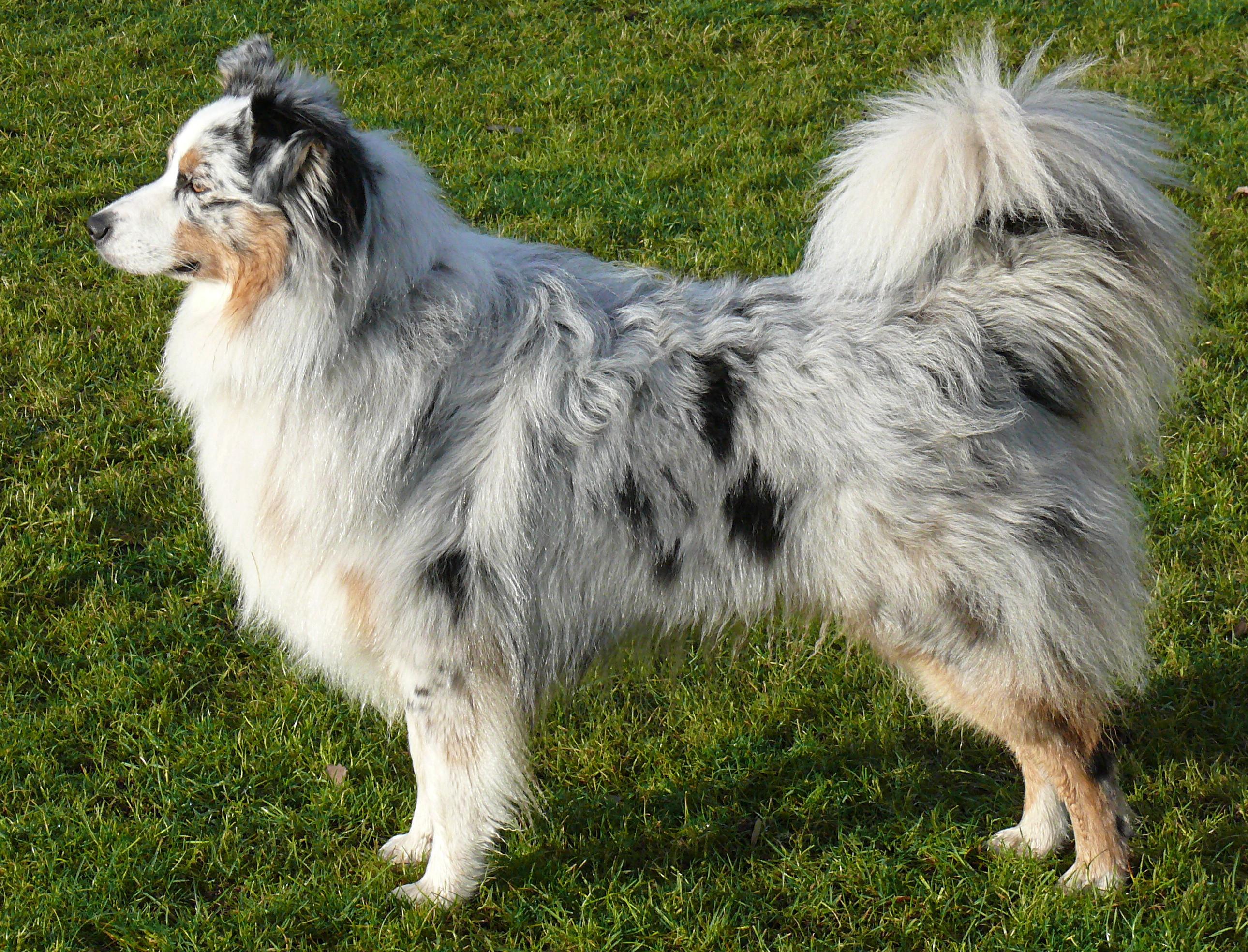 ... Australian Shepherd Blue Merle.jpg Lab Terrier Mix Full Grown