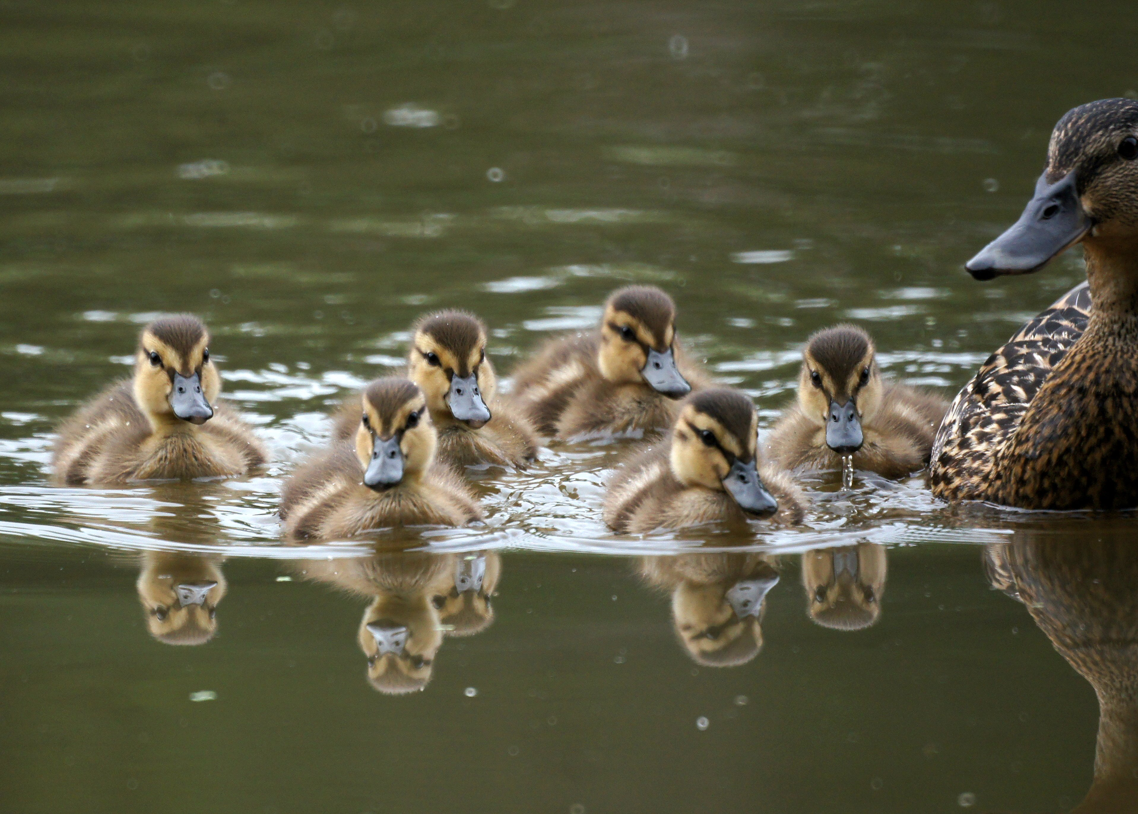 File:Baby Ducks (58279...