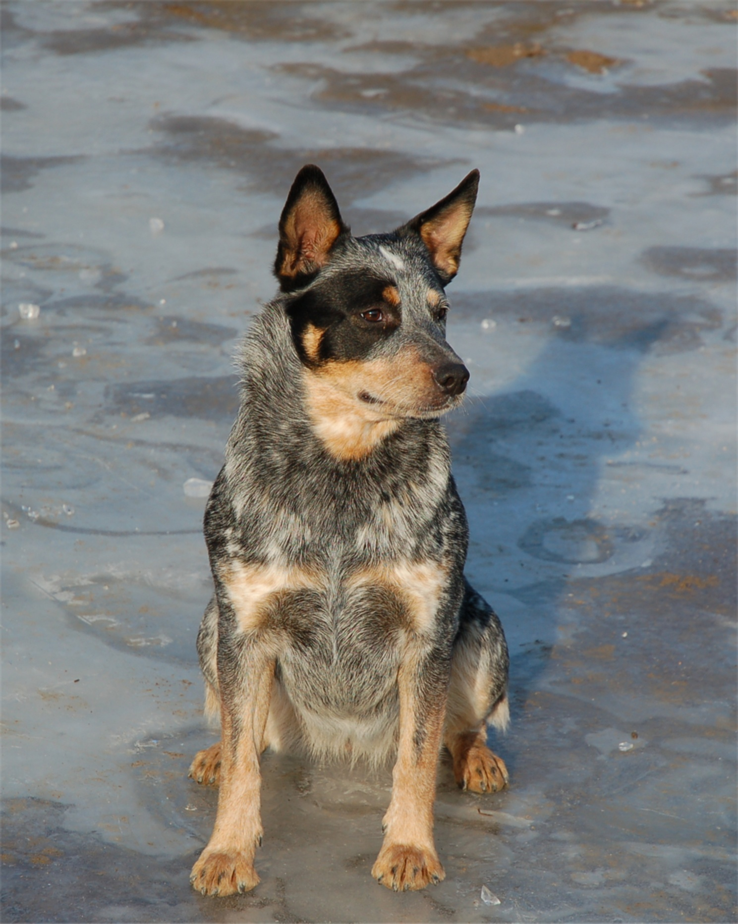 Red Cattle Dog Lost August September Boonah Kalbar Area