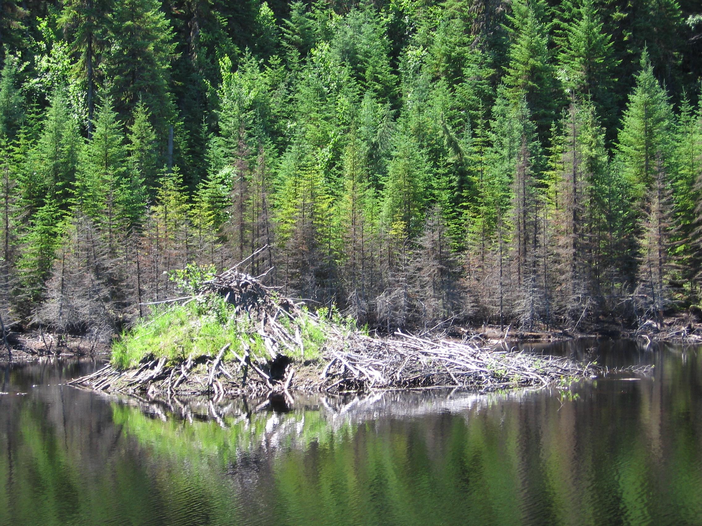 File beaver lodge north of saguenay quebec 2005 07 for Castor habitat