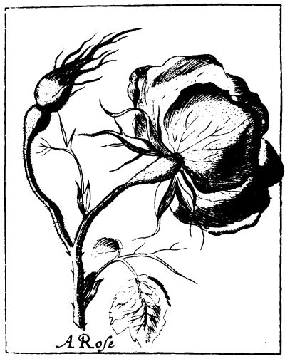 File Black And White Rose Png Wikimedia Commons