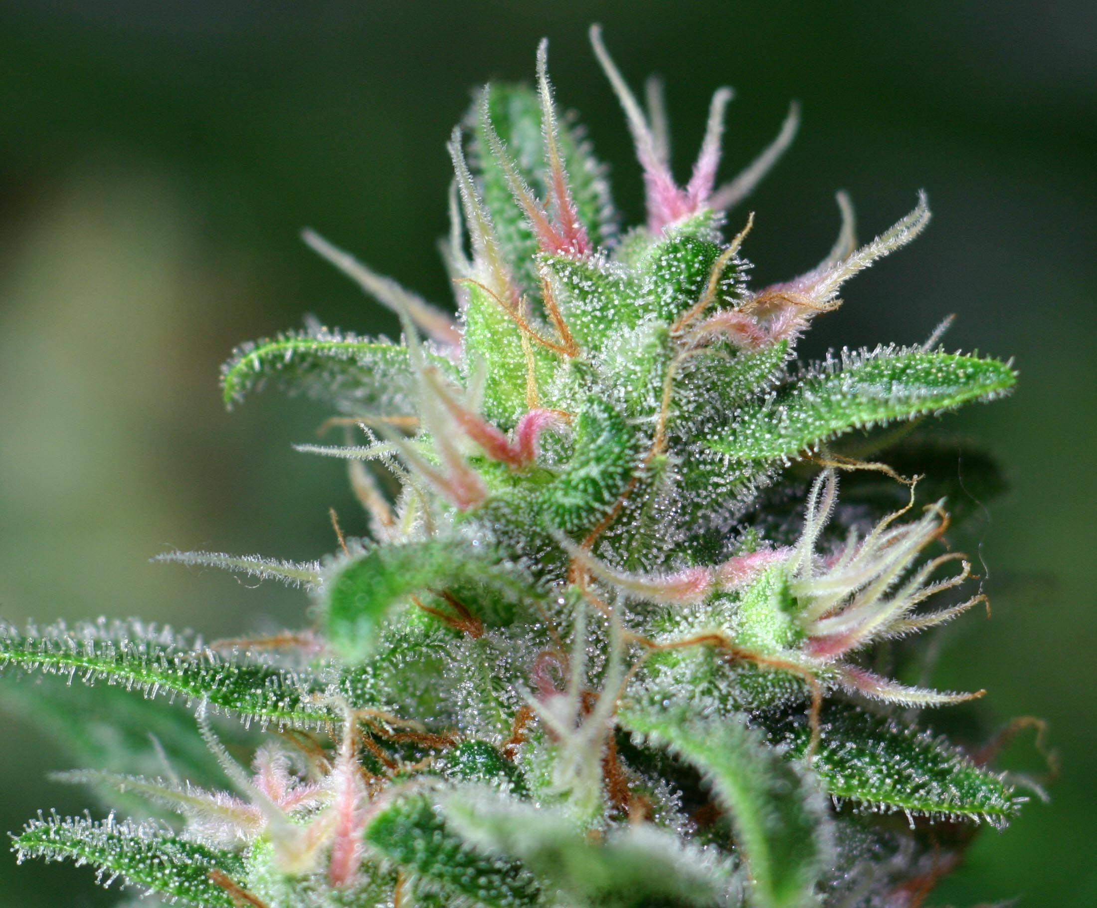 Why Should Growers Pay Close Attention To Cannabis Pistils?