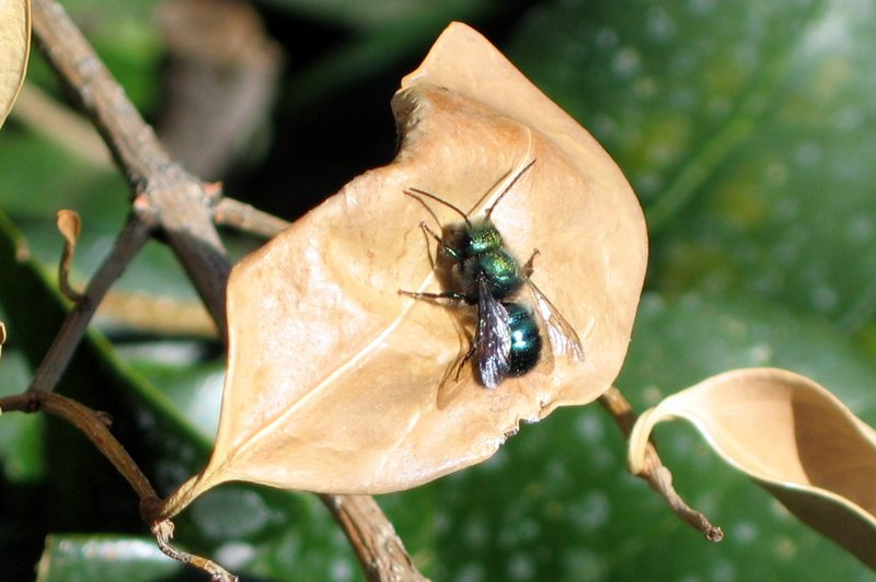 Blue Orchid Bee