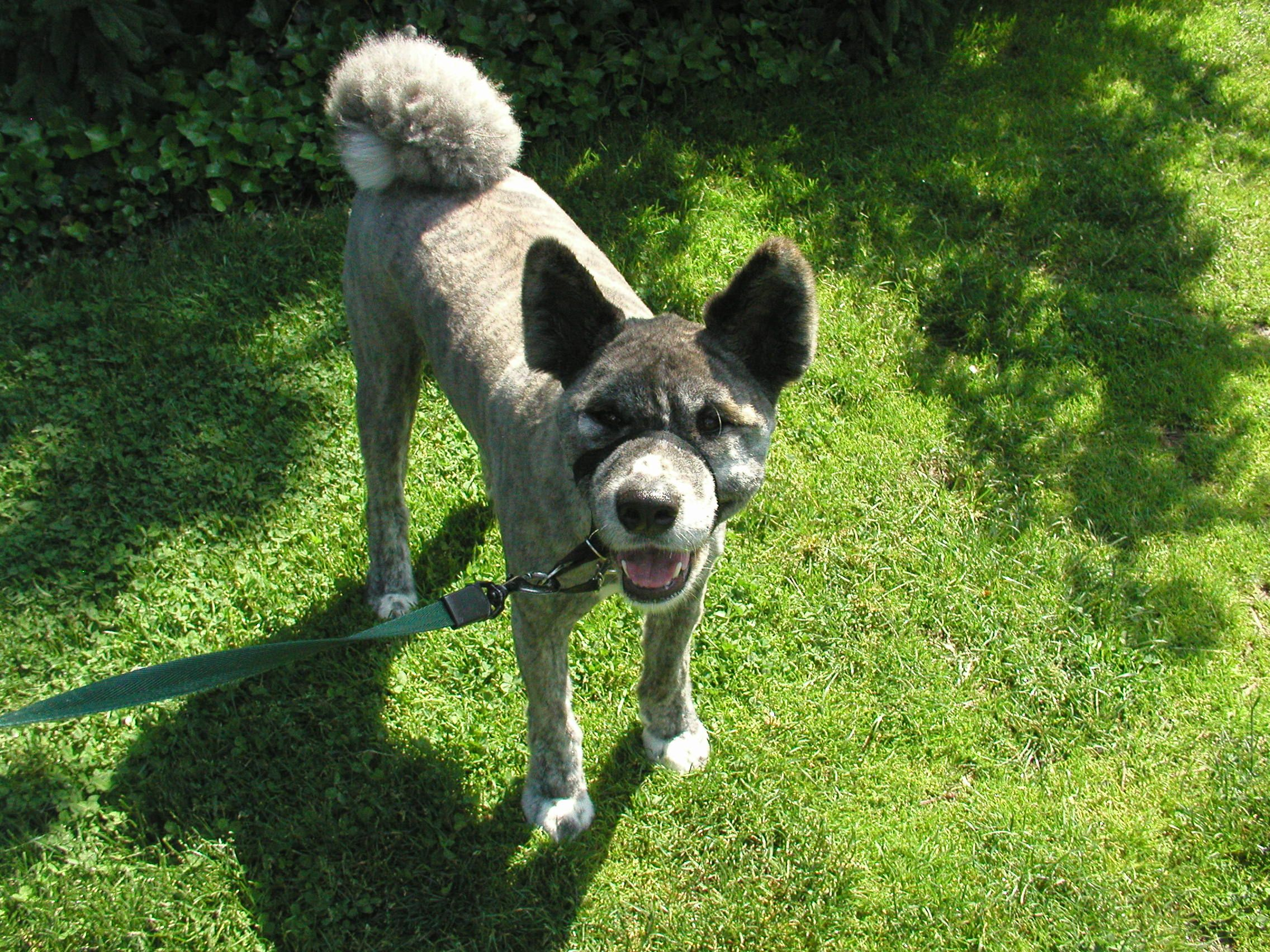 File:Brindle Moku Akita Inu - Clipped Fur - on Grass.jpg - Wikimedia ...
